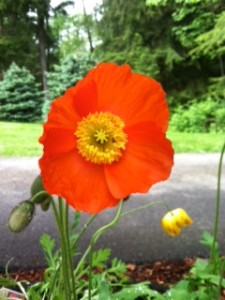 Do you know what the red poppy symbolizes?